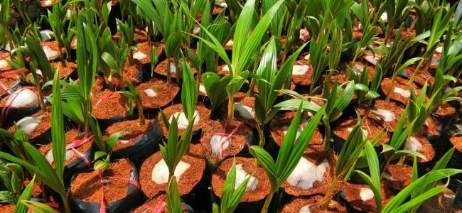 Dừa dâu, Giống dừa dâu, Dừa dâu xanh, Trái dừa dâu, Dừa dâu đỏ