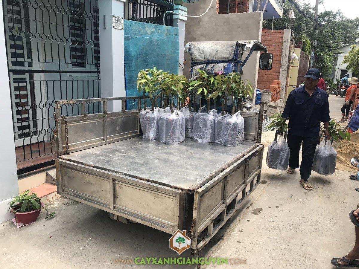 Sầu Riêng Thái, Cây Sầu Riêng Thái MonThong, Cây Sầu Riêng, Vườn Cây Trái, Giống Sầu Riêng