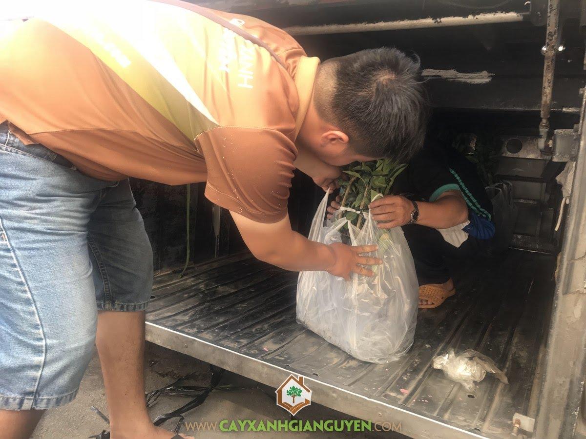 Cây Cam Sành, Trồng Cam Sành, Chăm sóc Cây Cam Sành Giống, Cây Giống Cam Sành, Vườn ươm Cây Xanh Gia Nguyễn