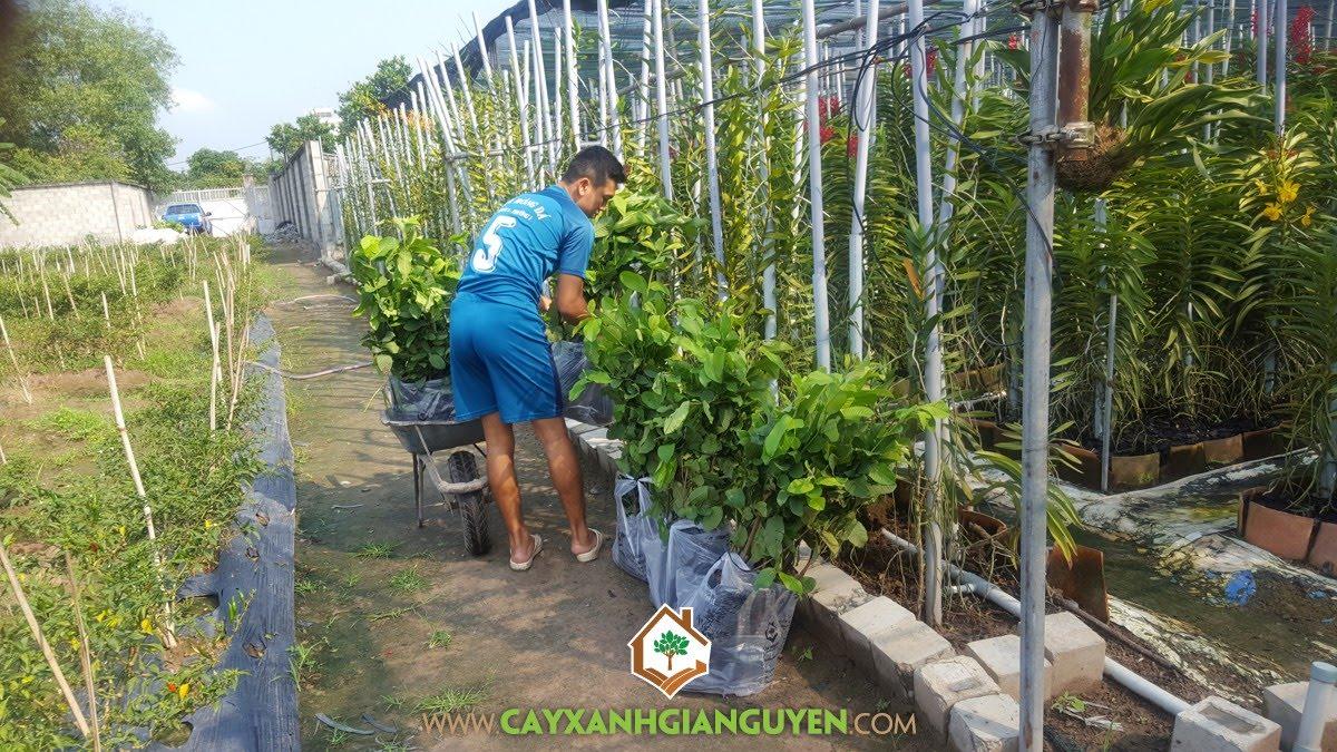 Cây Ổi Lê Đài Loan, Vườn ươm Cây Xanh Gia Nguyễn, Giống Ổi Lê Đài Loan, Cây Ổi Lê, Giống Ổi