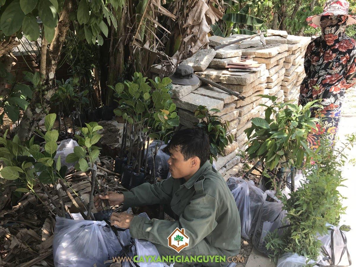 Cây Giống Ăn Trái, Vườn ươm Cây Xanh Gia Nguyễn, Vườn Cây Trái, Cây Bòn Bon Thái, Cây Mít Tố Nữ