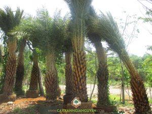 Giống cây chà là, Giống cây chà là Medjool, Giống chà là Rabbi, Quả chà là Zahi, Giống chà là