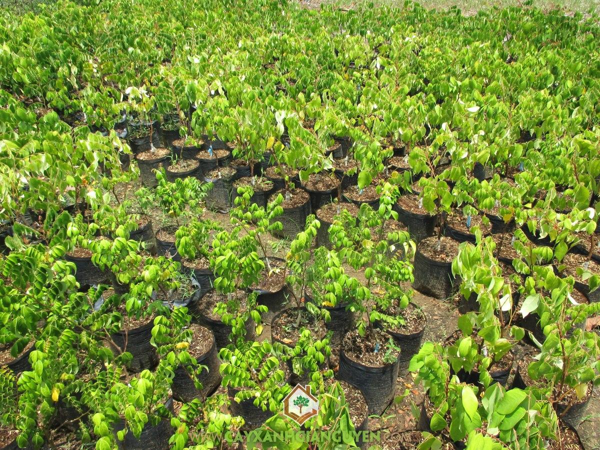 Cây Khế Ngọt Thái Lan, Khế Ngọt Thái Lan, Hoa Khế Ngọt Thái Lan, Cây Khế Ngọt Truyền Thống, Trái Khế Ngọt