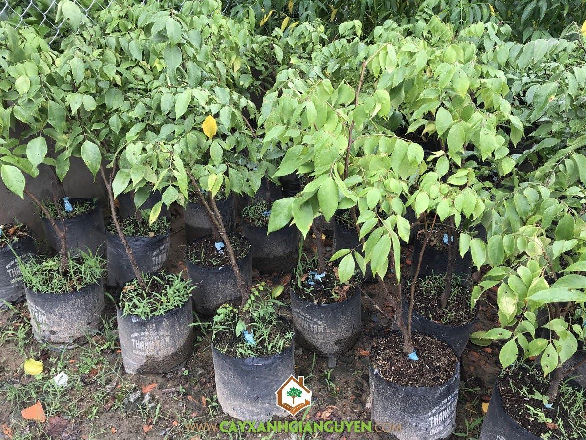 Cây Khế Ngọt, Hạt Khế Ngọt, Lá Cây Khế Ngọt, Hoa của Cây Khế Ngọt, Cây Ăn Trái, Giống Khế Ngọt