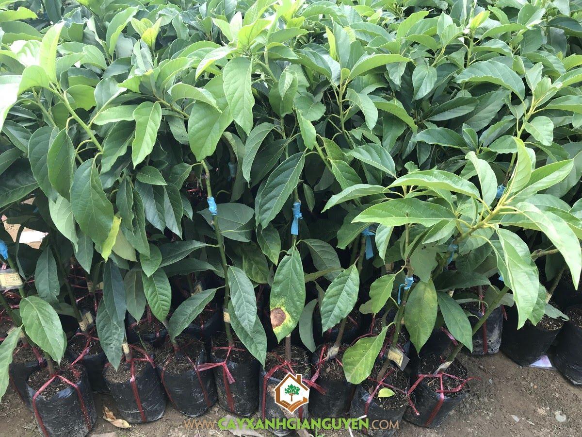 Cây Bơ 034, Bơ 034, Bơ, Cây Ăn Trái, Lauraceae