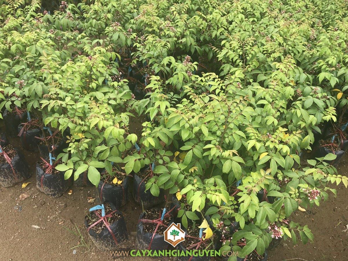 Trồng Cây Khế Chua làm cảnh, Trồng Cây Khế Chua, Cây Khế Chua, Cây Khế cảnh bonsai, Trồng chăm sóc Cây Khế Chua
