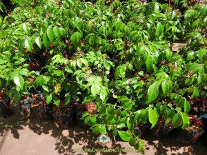 Cây Khế chua, Cây khế, Trồng cây khế chua, Cách chăm sóc cây khế chua, Cây ăn trái
