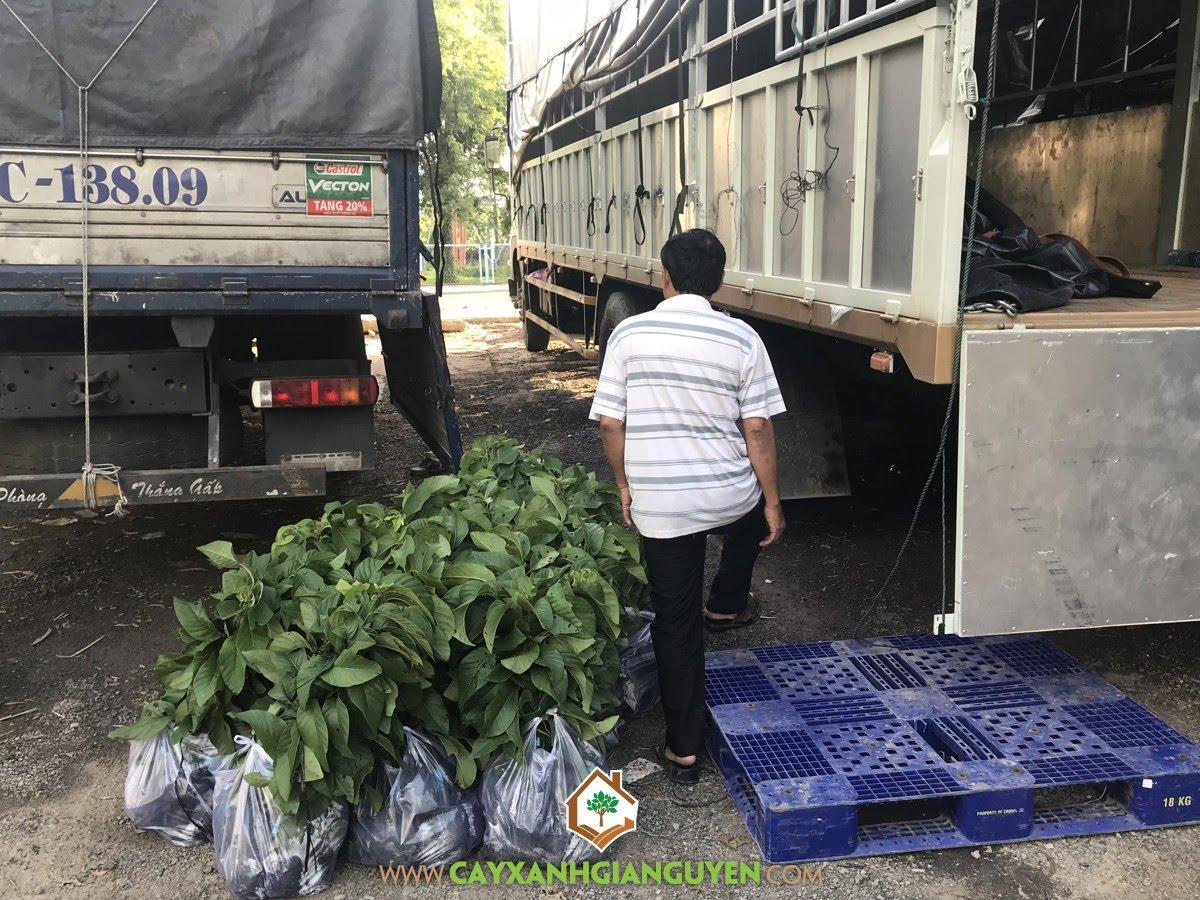 Cây Na Thái, Vườn ươm Cây Xanh Gia Nguyễn, Vườn Na Thái, Trồng Na Thái, Giống Na Thái