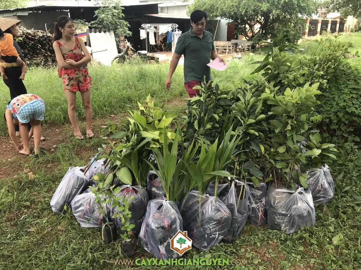 Cây Ăn Trái, Cây Vú Sữa Lò rèn, Cây Chanh Không Hạt, Cây Chanh Giấy, Vườn Cây Trái, Cây Dừa Dứa