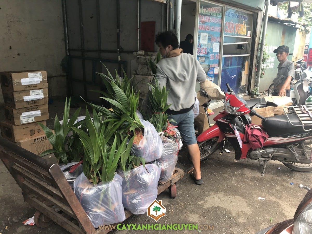 Cây Dừa Xiêm Dây, Dừa Xiêm Dây, Vườn ươm Cây Xanh Gia Nguyễn, Cây dừa Xiêm Dây Giống, Vườn Dừa Xiêm Dây