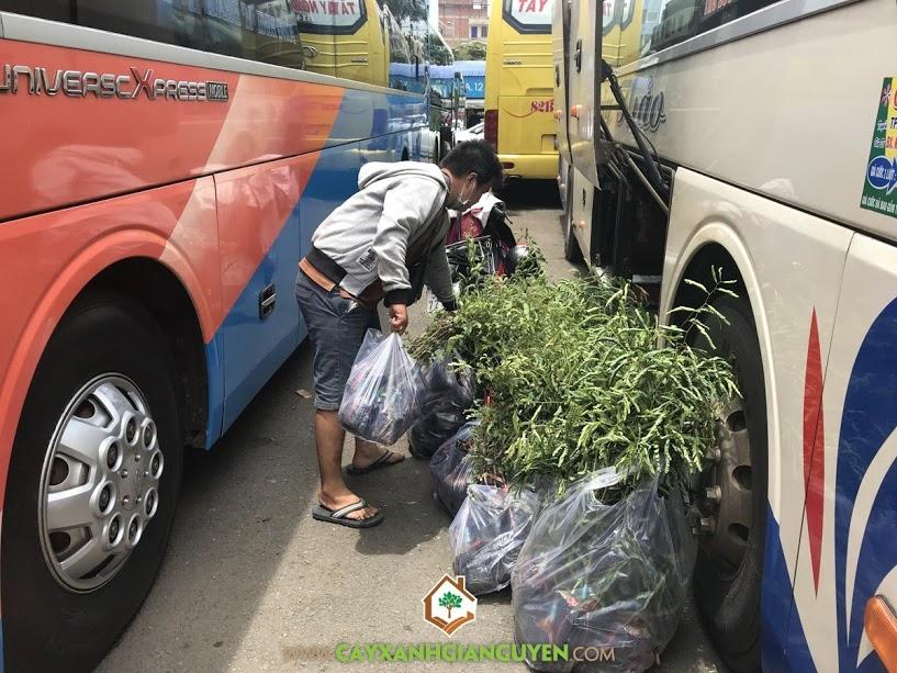 Cây me thái, Cây me thái giống, Vườn ươm Cây Xanh Gia Nguyễn, Công ty cà phê 719, Phương pháp ghép cây