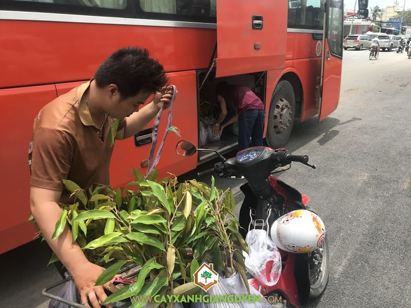 Sầu riêng Dona, Sầu riêng chuồng bò, Cây ăn quả, Vườn ươm Cây Xanh Gia Nguyễn, Giống sầu riêng