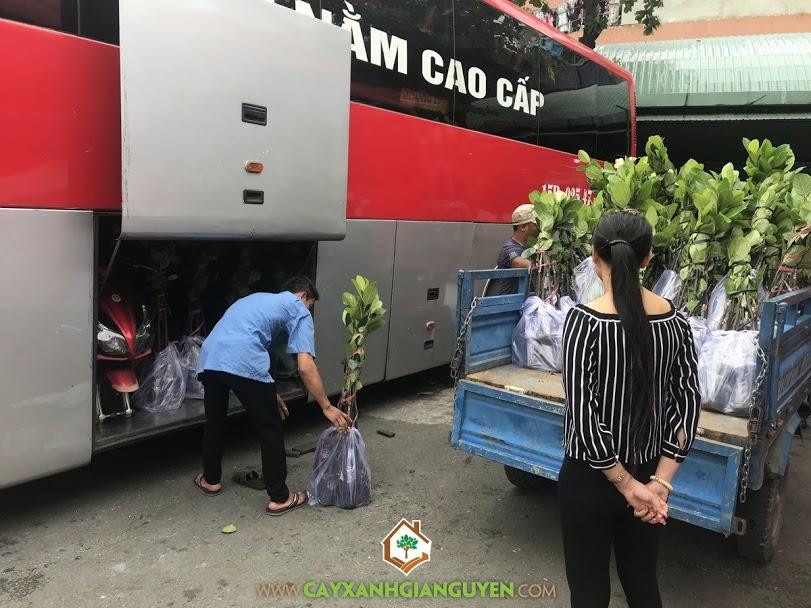 Cây Mít Thái Siêu Sớm, Vườn ươm Cây Xanh Gia Nguyễn, Mãng Cầu Xiêm Thái, Cây Mít Thái Siêu Sớm Giống, Mít Thái Changai