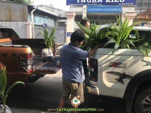 cây dừa dứa, Giống cây trồng, Cây Xanh Gia Nguyễn, Dừa, Dừa dứa