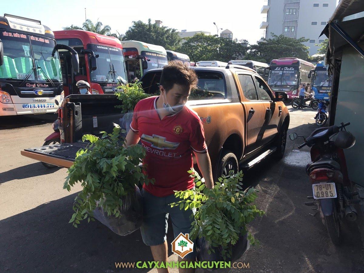Cây Chùm Ruột, Cây Giống Chùm Ruột, Vườn ươm Cây Xanh Gia Nguyễn, Cây Tầm Ruột, Giống Cây Trồng