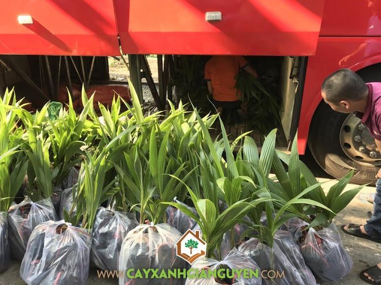 Cây dừa xiêm lùn, Cây Xanh Gia Nguyễn, Cây giống dừa xiêm lùn tại Cây Xanh Gia Nguyễn, trồng dừa xiêm lùn, Giống dừa xiêm lùn, giống dừa