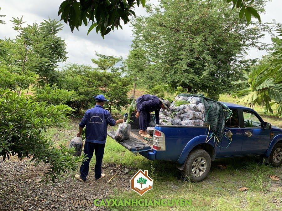 Cây Dừa Dứa Giống, Vườn ươm Cây Xanh Gia Nguyễn, Cây Giống Dừa Dứa, Cây Dừa Giống, Giống Dừa