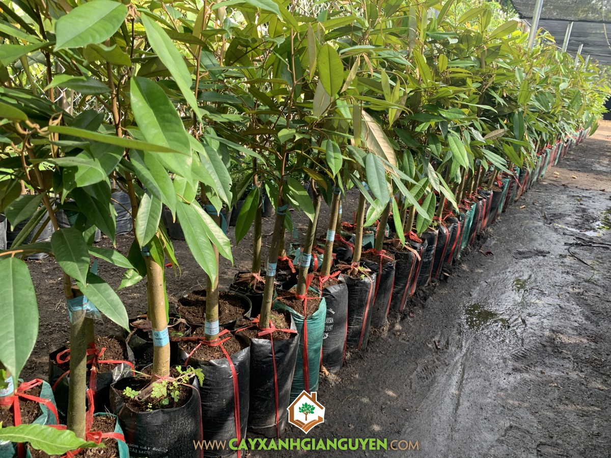 Sầu Riêng Musang King, Cây Giống Sầu Riêng Musang King, Trồng Sầu Riêng, Kỹ thuật trồng Sầu Riêng Musang King, Cách trồng Sầu Riêng Musang King