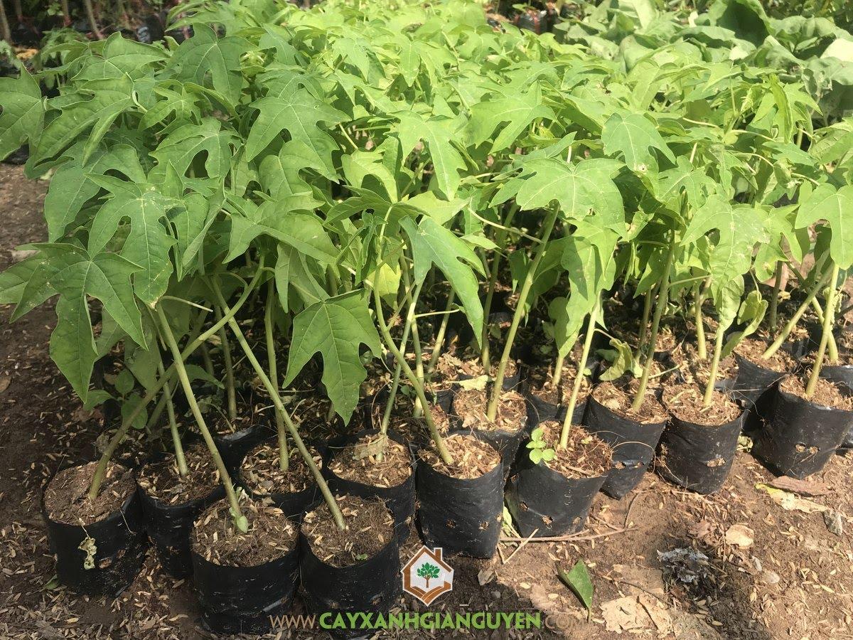 Carica papaya, Đu Đủ, Đu Đủ Ruột Đỏ, Cây Đu Đủ Ruột Đỏ, Đu Đủ Ruột Đỏ Đài Loan
