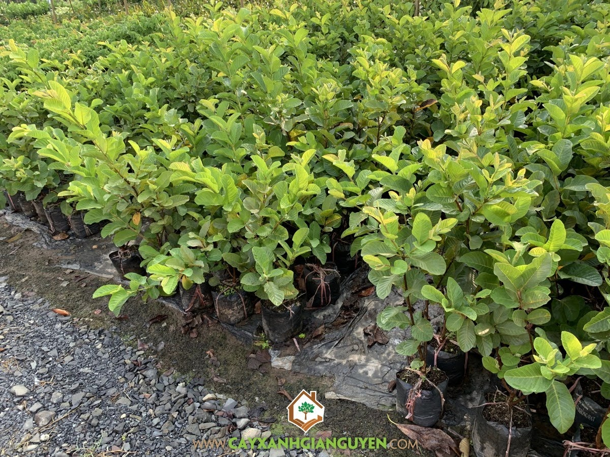 Psidium Guajava, Ổi Không Hạt, Cây Ổi Không Hạt, Cây Ăn Trái, Cây Ăn Quả