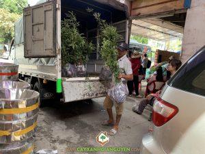 Vườn ươm cây xanh Gia Nguyễn, Cây me thái, Me ngọt Thái Lan, Giống me, Giống me truyền thống, Cây me thái giống