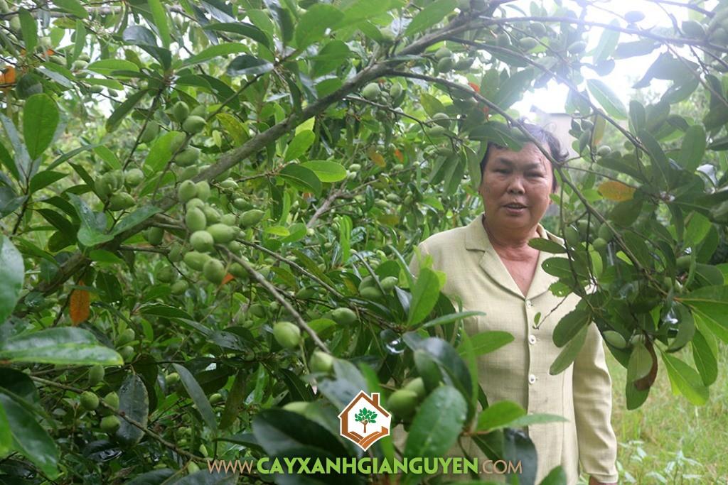 Cây Cà Na Thái, Trái Cà Na Thái, Mô hình trồng Cây Cà Na Thái, Cà Na, Vườn Cà Na Thái
