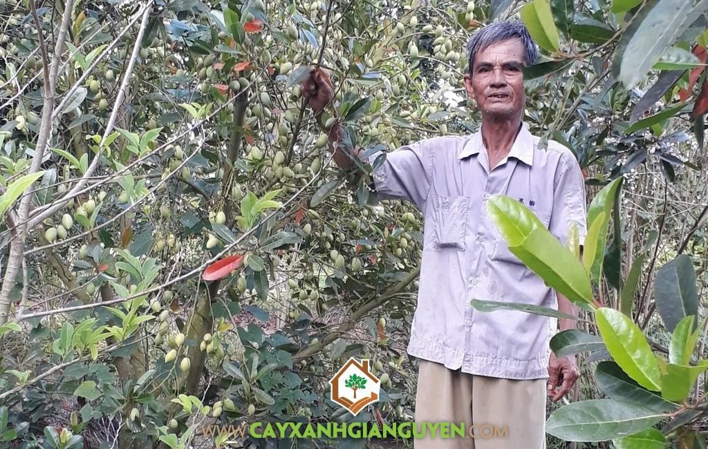 Cây Cà Na Thái, Trồng Cà Na Thái, Cà Na Thái, Cây Ăn Trái, Vườn ươm Cây Xanh Gia Nguyễn
