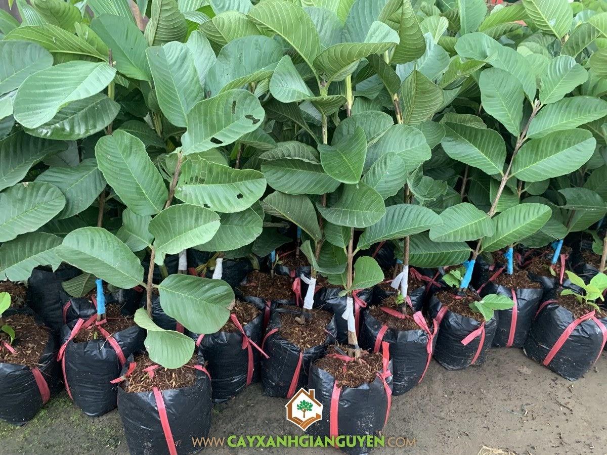 Psidium Guajava, Ổi Ruby, Ổi Ruột Đỏ Không Hạt, Ổi Ruột Đỏ Đài Loan, Ổi Đài Loan