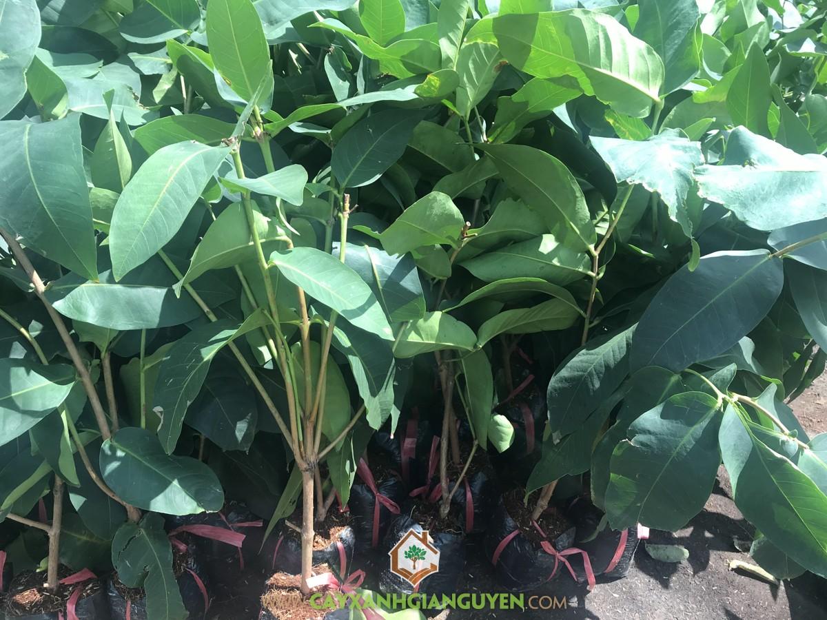 Mận Xanh Tam Hoa, Roi Xanh Tam Hoa, Syzygium Samarangense, Mận Tam Hoa, Cây Mận Xanh Tam Hoa