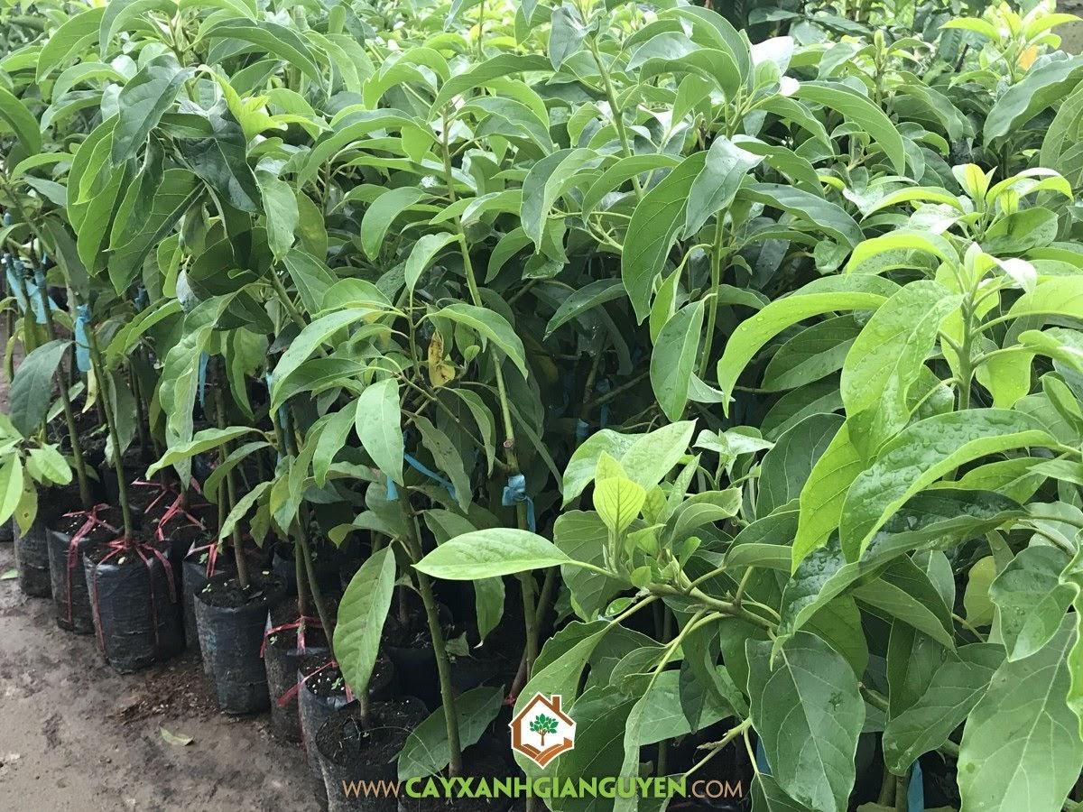 Avocado (Persea Americana), Bơ Sáp Năm Lóng, Bơ Năm Lóng, Cây Bơ Sáp Năm Lóng, Cây Bơ Năm Lóng