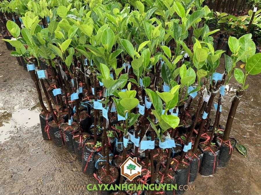 Artocarplus hectorophyllus, Mít Nghệ Tứ Quý, Mít Tứ Quý, Cây Mít Nghệ Tứ Quý,  Mít Nghệ
