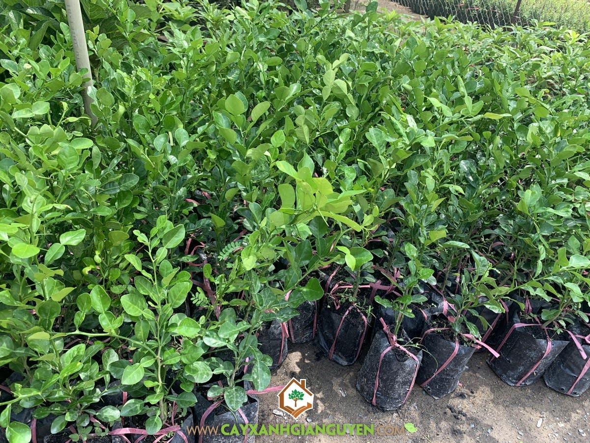 Cây Chúc, Năng suất Cây Chúc, Lá Cây Chúc, Giống Cây Chúc, Mô hình trồng Cây Chúc