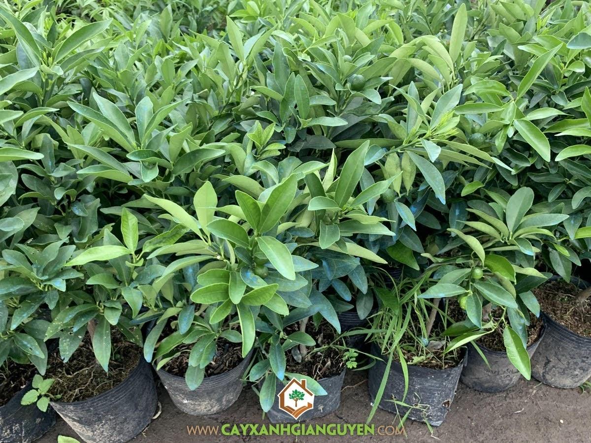 Tắc Thái, Quất Thái, Tắc Mỹ, Tắc Võ Ngọt, Fortunella margarita