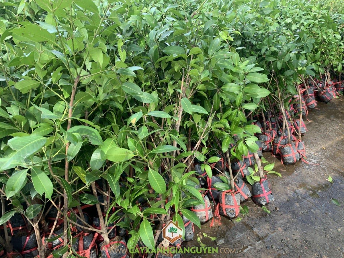 Kỹ thuật trồng Cây Thanh Trà, Cây Thanh Trà, Cây Xanh Gia Nguyễn, Thanh Trà, Cây Thanh Trà chuẩn từ nhà vườn