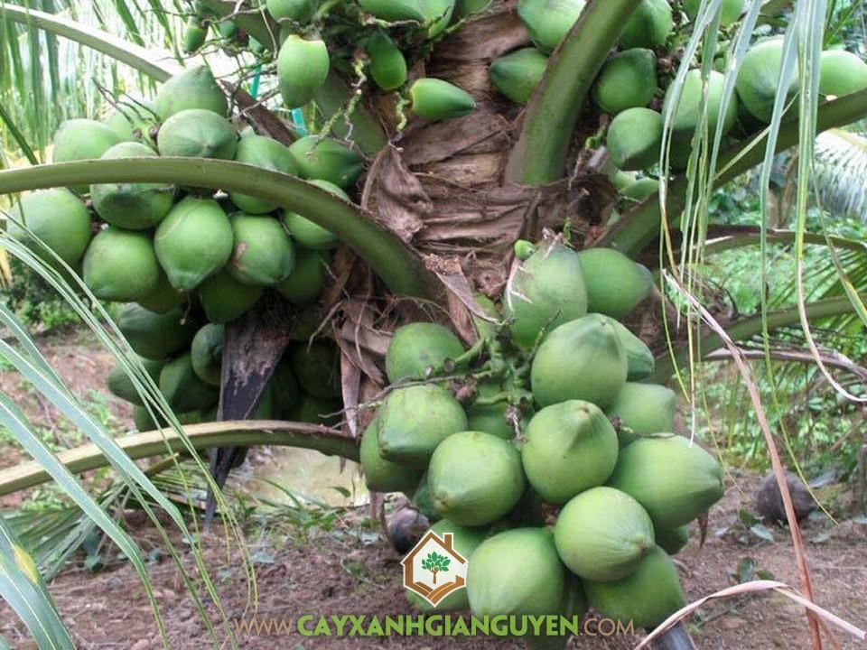Cocos Nucifera, Dừa Xiêm Lùn, Cây Dừa, Cây Ăn Trái, Cây Ăn Quả